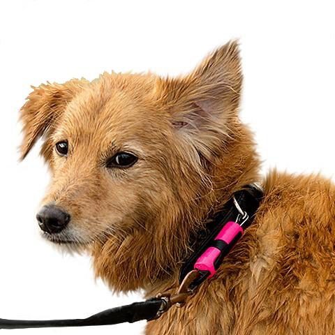 Magloc - magnetic connector for dog lead connected to cute dog. Suitable for reduced hand function: tetra, quad, cerebral palsy, SCI, spinal cord injury, stroke and more.