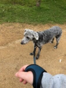 Stan the dog is ready for a walk, being held by the no-grip dog lead.